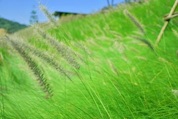 Grass flowers of grass garden. Fresh nature background.