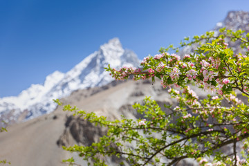 Blossom apple over nature snow mountain background, spring flowers - Image