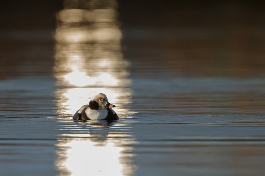 Long tailed duck in nice sunlight