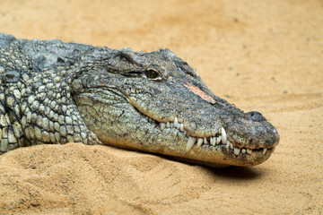 Poster Crocodile Der Kopf eines Krokodils