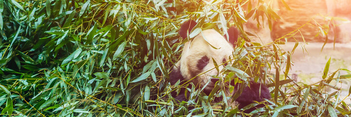 Spoed Fotobehang Panda Giant panda Ailuropoda melanoleuca eating bamboo. Wildlife animal BANNER, LONG FORMAT
