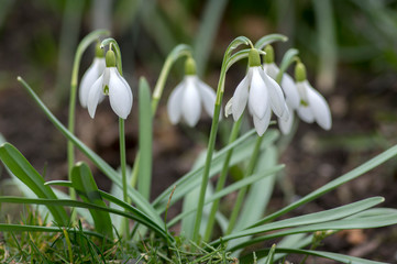 Bunch of galanthus nivalis, common snowdrop in bloom, early spring bulbous flowers in the grass