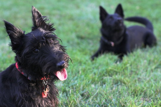 two black dogs smiling and playing in the grass