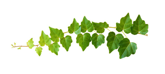Ivy twig with small green leaves