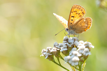 yellow bright butterfly sits on a yarrow flower