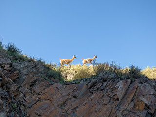 Vicuna (Vicugna vicugna) or vicugna is wild South American camelid, which live in the high alpine areas of the Andes. It is a relative of the llama.