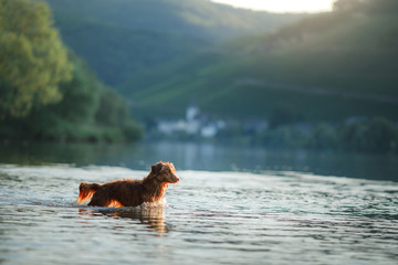 Wall Murals Panther dog on the lake. Nova Scotia Duck Tolling Retriever in nature. Toller, Pet with Travel