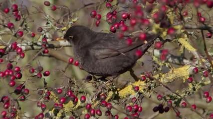Fotoväggar - Blackbird, Turdus merula, Single male on Hawthorn berries,