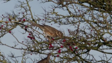 Fotoväggar - Redwing, Turdus iliacus single bird on hawthorn berries, Warwickshire