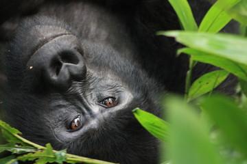 Wilde Berggorilla in Uganda - Afrika - Freilebend