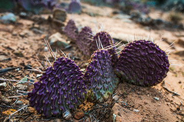 Dying cactus in cold season, southern Utah desert