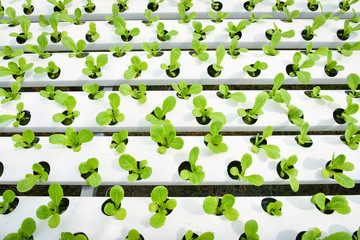 vegetable hydroponic system fresh vegetable green cos lettuce salad growing garden hydroponic farm