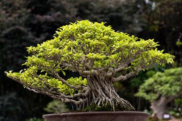 Banyan tree bonsai