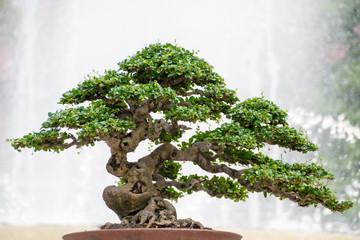 Miniature Bonsai tree of Hokiantea (Carmona Retusa)