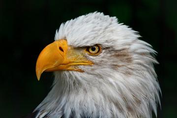 An Eagle's Portrait