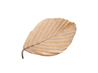Old dried leaves in line pattern isolated on white background with clipping path