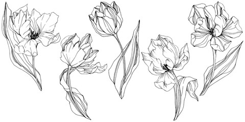 Vector Tulip Black and white engraved ink art. Floral botanical flower. Isolated tulip illustration element.