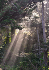 Californian forests with sunbeams