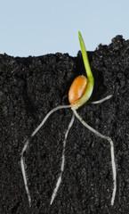 Wheat grain growing in organic soil