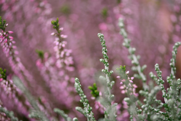 Calluna vulgaris (erica) in composition with a silver green plant, blooming in wintertime, soft focus, shallow depth of field, floral background, nature wallpaper