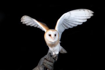 owl barn wildlife bird animal nature wild prey eye look hunter