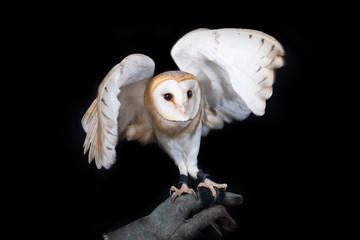 owl barn wildlife bird animal nature wild prey eye look hunter  Fototapete