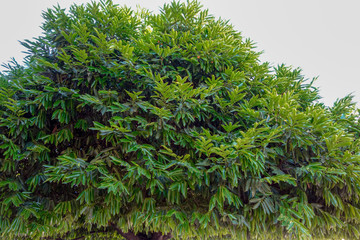 シュエモード・パヤー 菩提樹