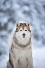Close-up Portrait of gorgeous and free Siberian Husky dog sitting on the snow path in the fairy winter forest at sunset.