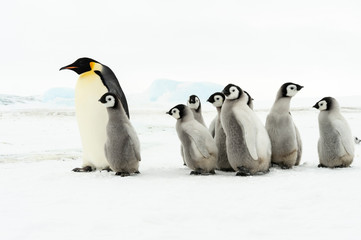 Emperor Penguin with chicks at Snow Hill
