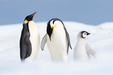 Two Emperor Penguins with chick at Snow Hill