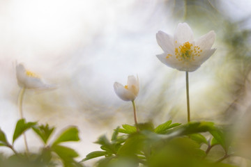 Wild anemone (Anemone Nemorosa), photographed with a vintage lens.