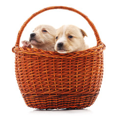 Puppies in a basket.