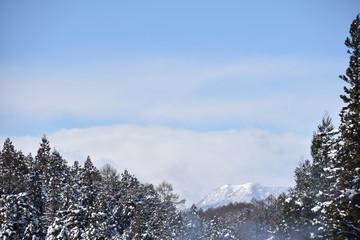スギに積もる雪
