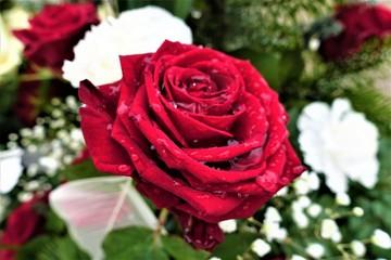 Rose/Blumen/Natur
