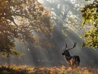 Roe Deer Stag In The Sunbeams Wall mural