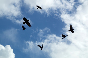 Looking up at a group of six black crows flying and circling in the afternoon sky silhouetted against clouds, also known as a murder of crows.