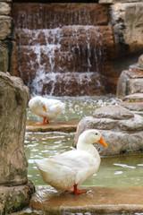 White domestic ducks are in the pond