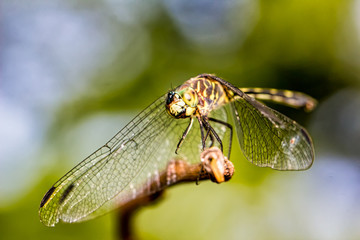Dragonfly on branch extreme close up - Macrophotography of dragonfly on branch