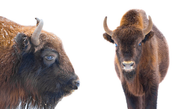 Portrait of bisons buffalo isolated on white background