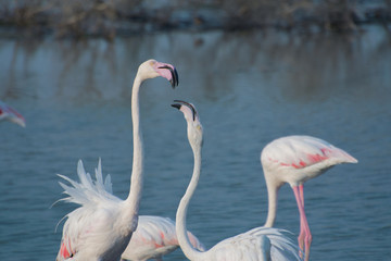 Flamingo - Sharing love