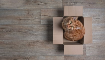 Ginger cat in a cardboard box looking curious up to the camera. Panoramic picture with copy space.