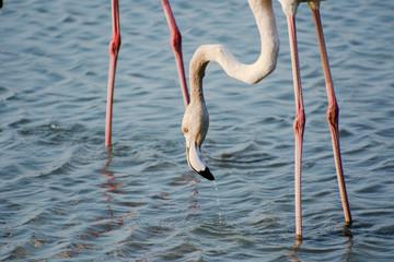 Flamingo - waiting to eat