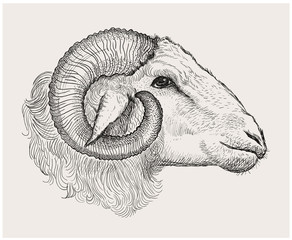 Ram head, graphic hand drawn illustration