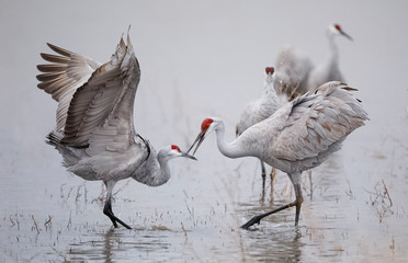 Sandhill Cranes displaying and dancing at dawn - New Mexico