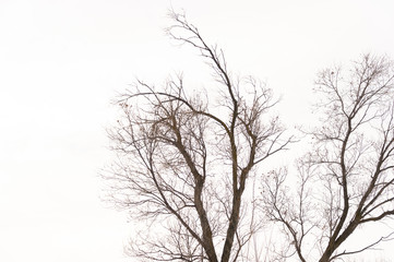 tree branch silhouette on a white background