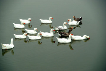 Eco geese