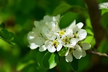 Armut ağacı çiçeği