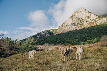 Cows on a pasture in the mountain