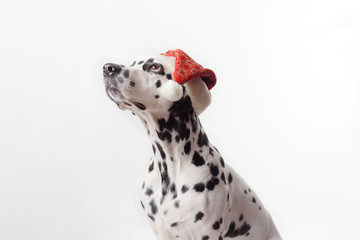 Dalmatian dog wearing Santa hat, looking to the left on white background. Cute dalmatian dog looking up. Shot in studio. Copy space