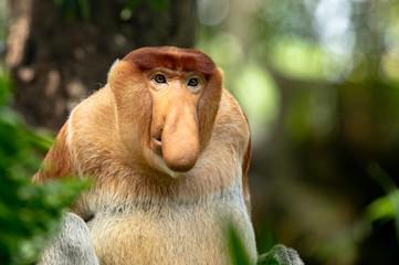 Deurstickers Aap Portrait of a Male Proboscis Monkey with big nose